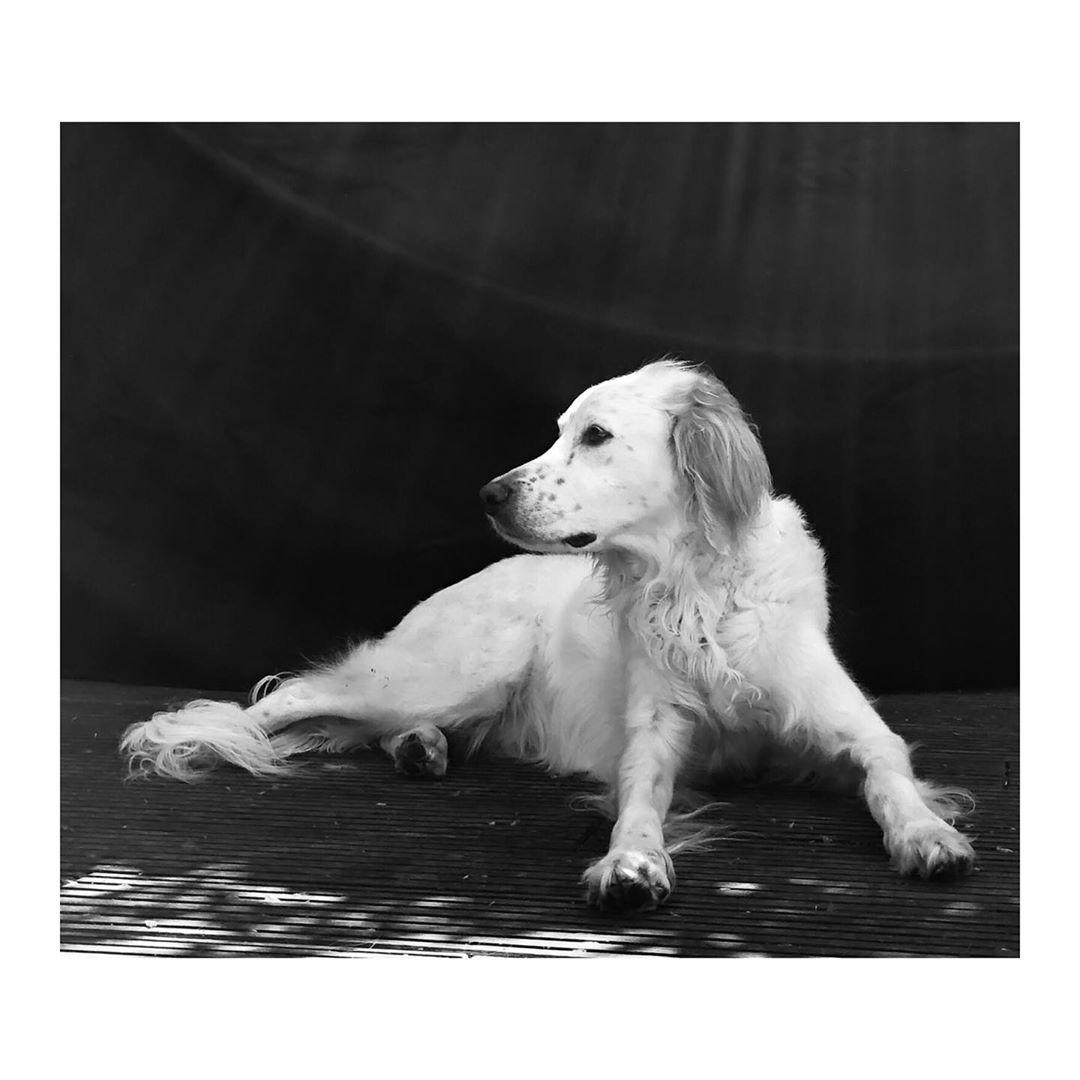 Out of office ...#dogsofinstagram #doggydoglife #doggy #doggystyle #dog #photography #blackandwhite #englishsetter #settersofinstagram #whitedog #animal #picture #picofthe